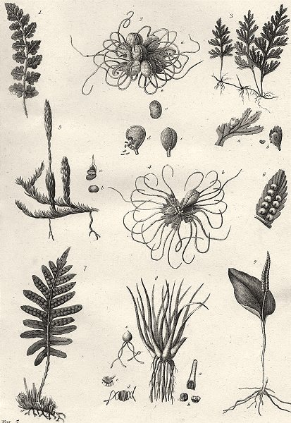 Associate Product PLANTS. Cryptogamia (2)  1880 old antique vintage print picture