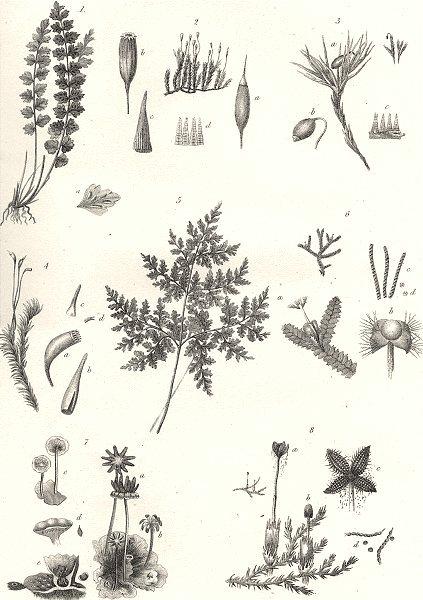 PLANTS. Cryptogamia (3)  1880 old antique vintage print picture