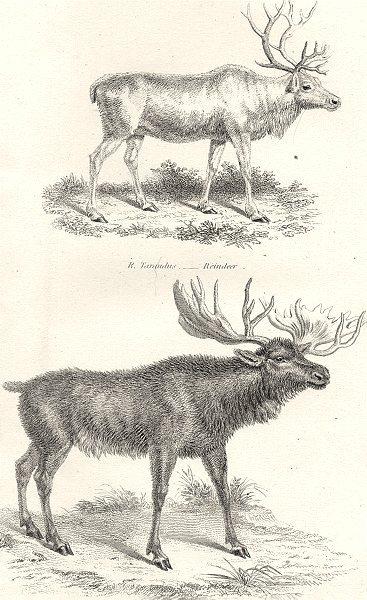 Associate Product DEER.  (Cervidae) . Tarandus- Reindeer; A. Palmatus- Elk Moose 1880 old print