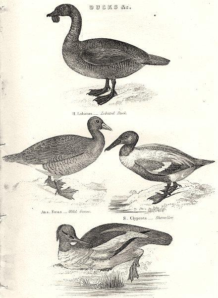 Associate Product DUCKS.Lobatus-Lobated;Ferus-Goose;Clypeata-Shoveller;Merganser-Goosander 1880