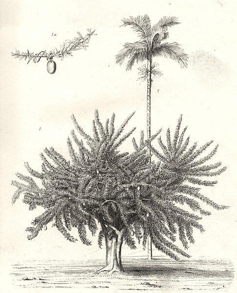 Associate Product PLANTS. Exotic Plants. 1. Calabash tree; 2. Betel nut palm 1880 old print