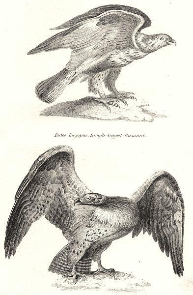 BIRDS. Falcon; Buteo Lagopus. Buzzard; Spiz Bellicosus Martial Eagle 1880