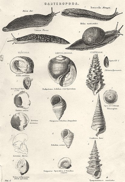 Associate Product MOLLUSCS. Gasteropoda 1880 old antique vintage print picture