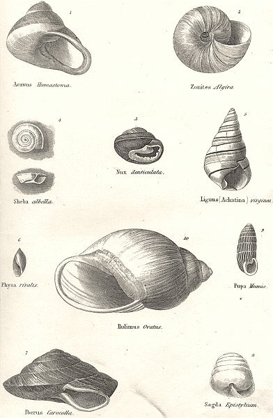 Associate Product HELIX. Acavus Haemastoma. Zonites Algira; Nux Denticulata. Sheba albella 1880