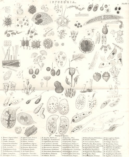Associate Product INFUSORIA. Infusoria (1)  1880 old antique vintage print picture