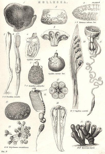 Associate Product MOLLUSCA.Distoma rubrum sav;Cynthia canopus;Clavelina borealis;Botryllus 1800