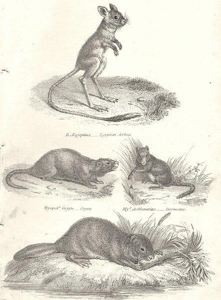Associate Product RODENTIA.Aegyptius-Egyptian Jerboa;Myopots Coypu;Dormouse;Fiber-Beaver 1880