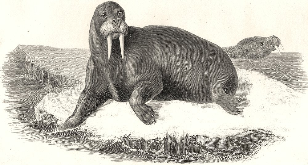 Associate Product PINNIPEDS. Seal Trichechus 1880 old antique vintage print picture