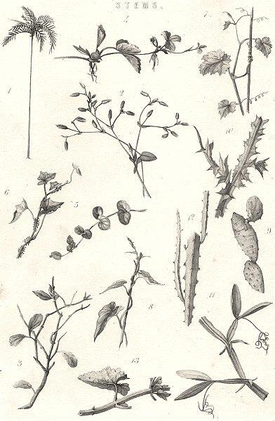 Associate Product PLANTS. Stems 1880 old antique vintage print picture