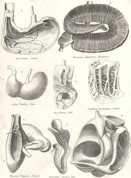 Associate Product ALIMENTARY CANALS ANIMALS.Swine;Kangaroo;Hare;Calf;Camel;Porpoise;Bat;Sheep 1880