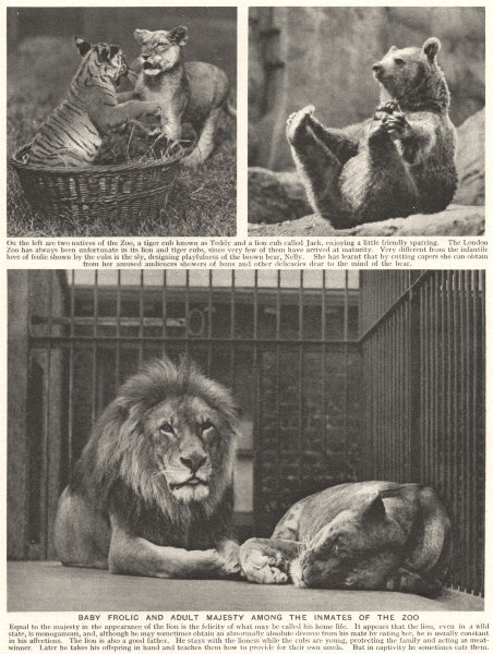 Associate Product LONDON. Baby frolic and adult Majesty among the inmates of the zoo. Lions 1926