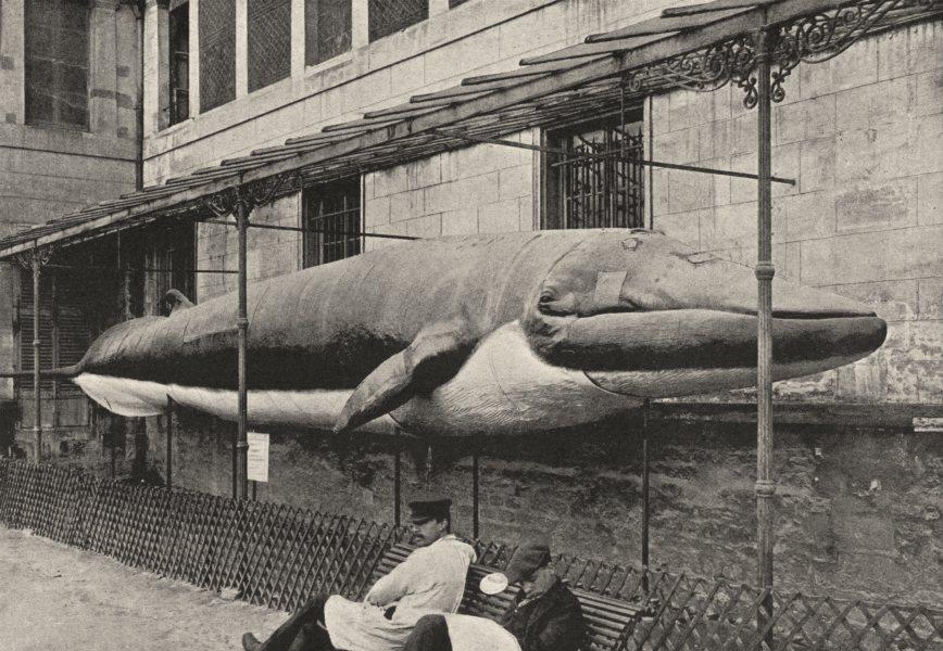 Associate Product PARIS. Muséum. Baleine 1895 old antique vintage print picture