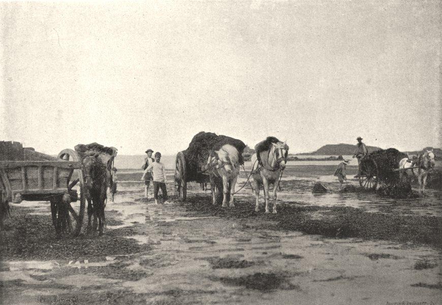 Associate Product MANCHE. Récolte du Goemon a L'Embouchure Couesnon 1895 old antique print
