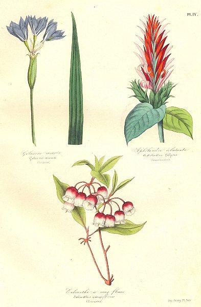 Associate Product BOTANICALS. Gelasine azurea; Aphelandra fulgeus; Enkianthus quingueflorus 1852