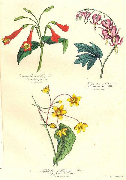 Associate Product BOTANICALS. Lisianthus puleber; Dicentra spectabilis; tylophora lutescens 1852