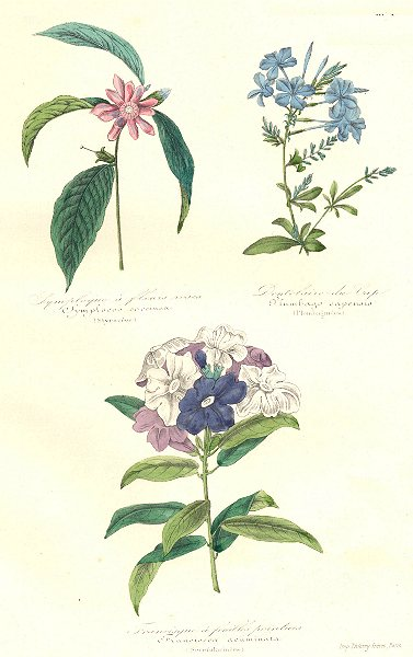 Associate Product BOTANICALS. symplocos coccinea; plumbago capensis; franciscea acuminata 1852