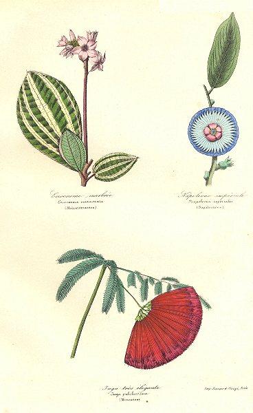 Associate Product BOTANICALS. eriocuema marmorata; Napoleona imperialis; jnga pulcherrima 1852