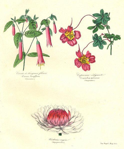 Associate Product BOTANICALS. correa longiflora; cropoeolum speciosum; Victoria regia 1852 print