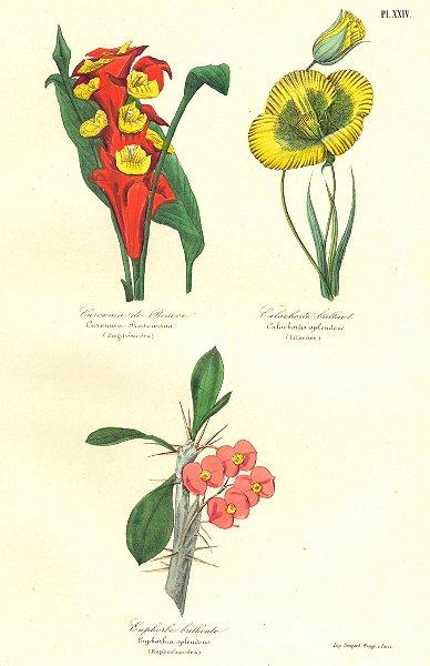 Associate Product BOTANICALS. curcuma roscoeana; calochortis splendens; euphorbia splendens 1852