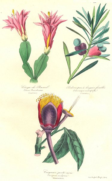 Associate Product BOTANICALS. Cereus russelianus; podocarpus macrophylla; caryocar nuciferum 1852