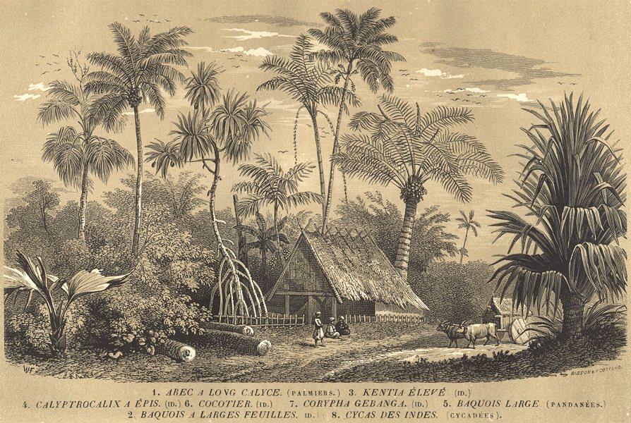Associate Product TREES. Arec Calyce; Baquois; Kentia Élevé; Calyptrocalix; Cocotier 1852 print