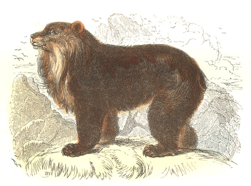Associate Product BEARS. Wild Animals and Predators. Bear of the Andes 1873 old antique print