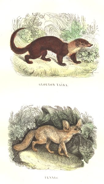 Associate Product FOXES. Wild Animals and Predators. Wolverine Taira; Fennec 1873 old print