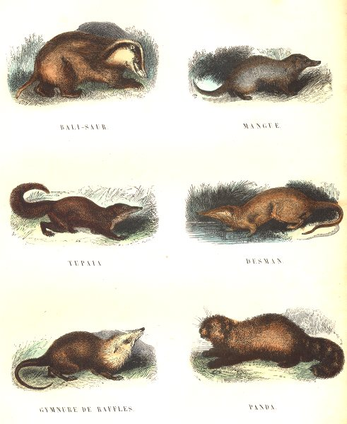 PREDATORS. Bali-Saur, Mango, Tupaia; Desman; Gymnure Raffles; Panda 1873 print