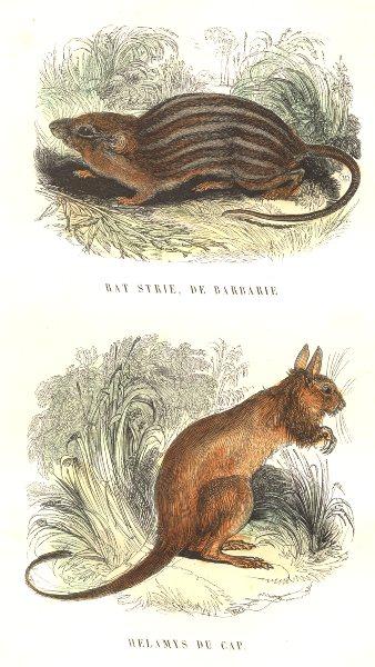Associate Product MAMMALS. Wild Animals Predators. Rat streak, Barbary Helamys cap 1873 print