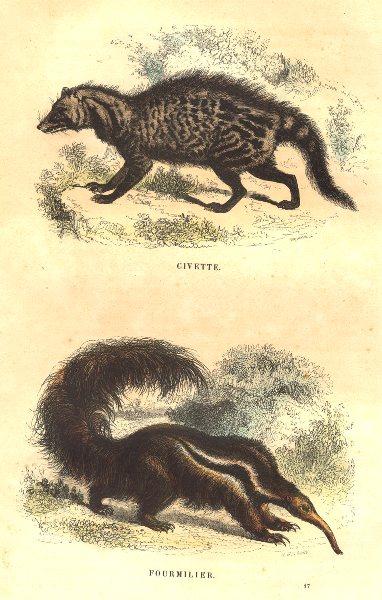 Associate Product MAMMALS. Civet; Anteater 1873 old antique vintage print picture