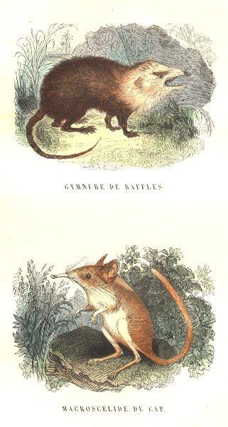 Associate Product MAMMALS. Civet Zibeth. Gymnure Raffles; Macroscélide cap 1873 old print