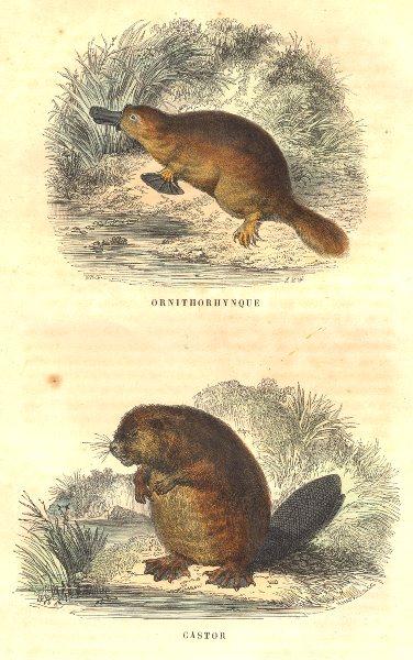 MAMMALS. Ornithorhynchus; Castor 1873 old antique vintage print picture