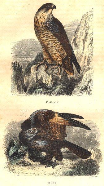 Associate Product BIRDS. Hawk, Hawk 1873 old antique vintage print picture