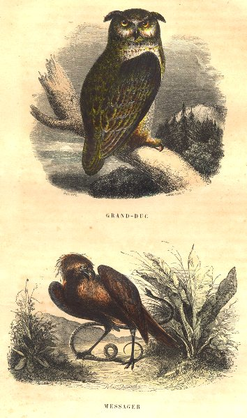 Associate Product BIRDS. Grand Duke; Messenger 1873 old antique vintage print picture