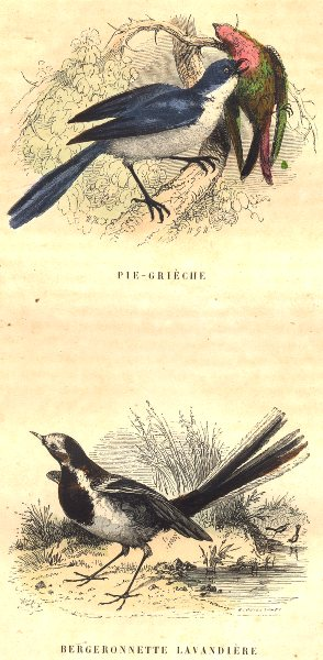 Associate Product BIRDS. Order Passerines. Shrike; Wagtail Washerwoman 1873 old antique print