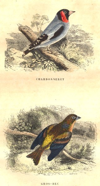 Associate Product BIRDS. Order Passerines. Goldfinch, Hawfinch 1873 antique print picture