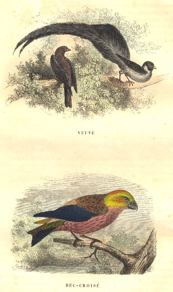 Associate Product BIRDS. Order Passerines. Widow, Red-Cross 1873 old antique print picture
