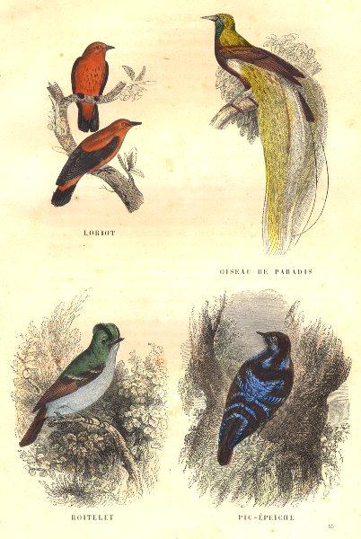 Associate Product BIRDS. Order Passerines. Loriot; Bird Paradise Wren, Woodpecker Pic- 1873
