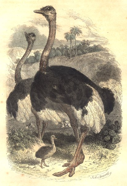 Associate Product Ostriches. Order Fowl. Ostrich 1873 old antique vintage print picture