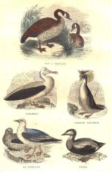 Associate Product BIRDS. Order Waterfowl. Goose Neck, Albatross, penguin Jumper, Gull, Eider 1873