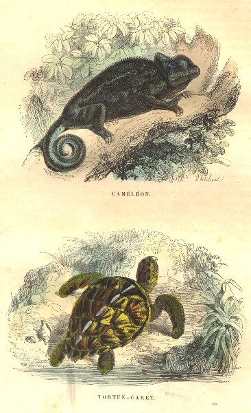 Associate Product REPTILES. Reptiles. Chameleon, Turtle Hawksbill 1873 old antique print picture