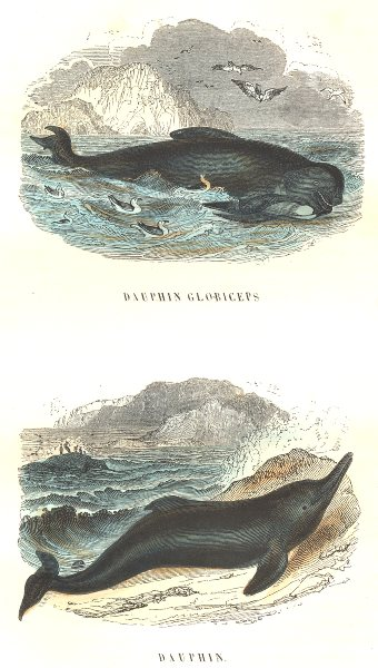 Associate Product CETACEANS. Fish Hte Sea Cetaceans. globiceps Dauphin, Dauphin 1873 old print