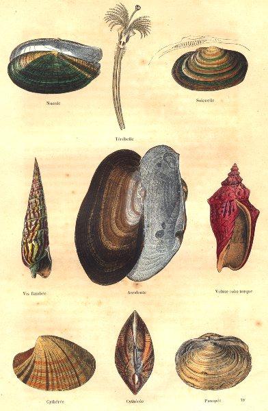Associate Product MOLLUSCS. nutlet; Térébelle; Solenelle, screw spike, floater, Volute 1873