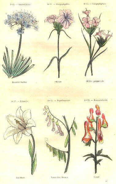 Associate Product PLANTS. Umbelliferae; Caryophylleae; Heraclea bearded, eyelet, polymorphous 1873