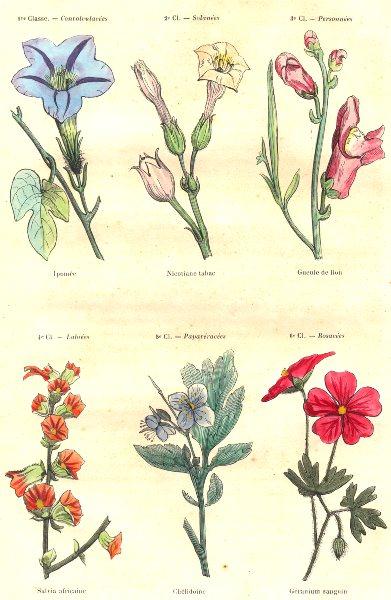 Associate Product PLANTS. Convolvulaceae, Solanaceae; pomée; nicotiane tobacco lion Mouth 1873