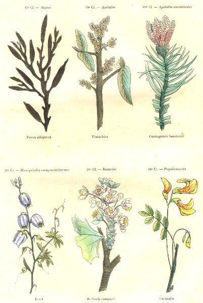 Associate Product PLANTS. Algae, apetalous; amentacées; Fucus siliqueux; Pistachio;Cuningamie 1873