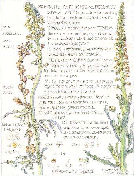 Associate Product FLOWERS.Mignonette.Resedaceae.Wild Mignonette;Base Rocket;Yellow Rocket 1907