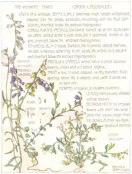 Associate Product FLOWERS. Milkwort family. Polygaleae. Lesser Milwort; Common Milkwort   1907
