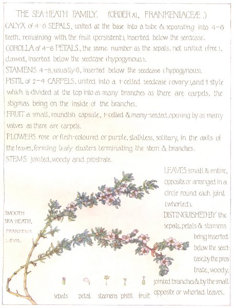 Associate Product FLOWERS. Sea-Heath family. Frankeniaceae. Smooth Sea Health 1907 old print