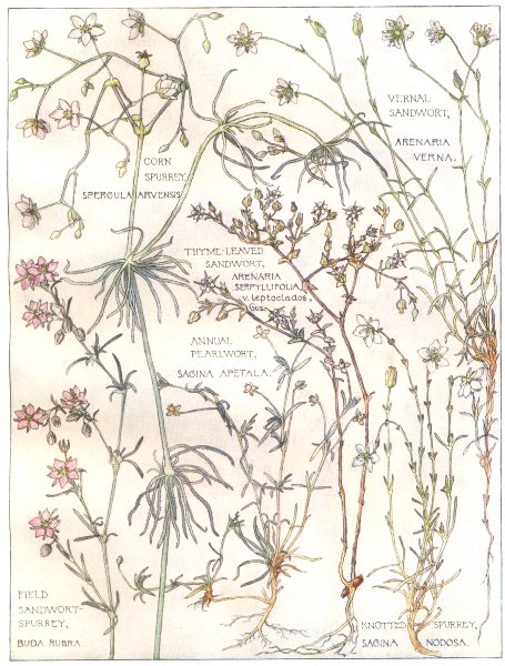 Associate Product SANDWORT. Vernal,Thyme-Leaved Filed; Annual Pearlwort; Corn Knotted Spurrey 1907